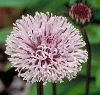 image of bog buttons flower